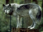 Wolf_pictures_wallpapers_03