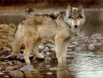 Wolf_pictures_wallpapers_09