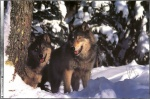 Wolf_pictures_wallpapers_10