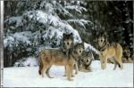 Wolf_pictures_wallpapers_11